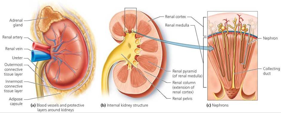22 on adrenal gland system diagram