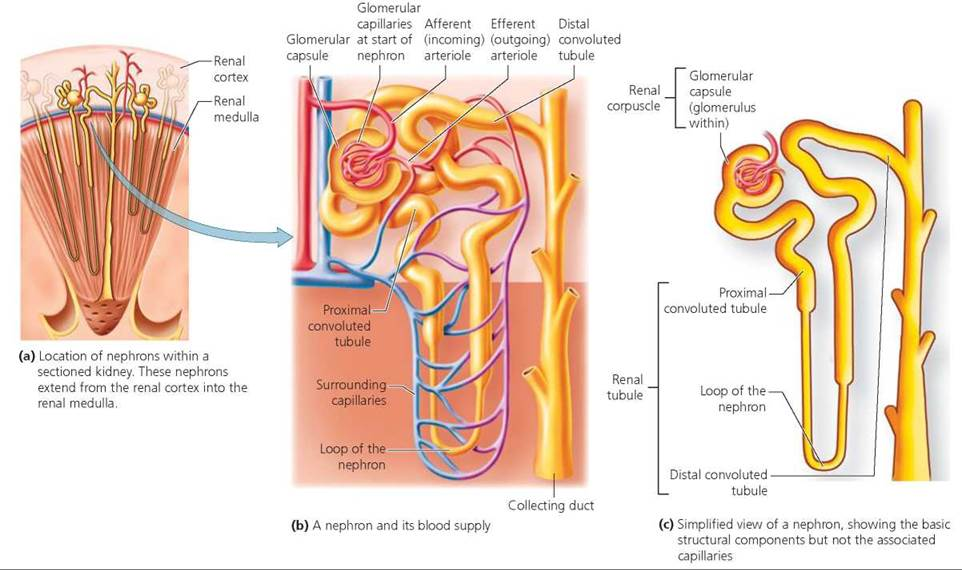 The Urinary System Biology Of Humans