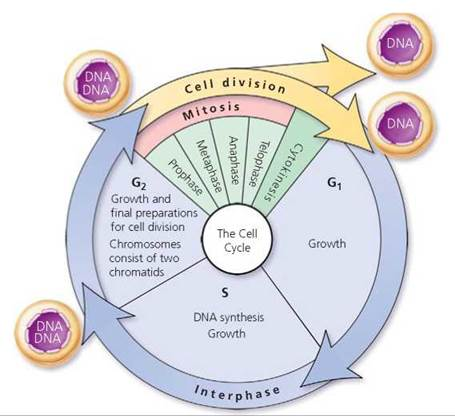 Short Essay for Biology Students on Cell Cycle