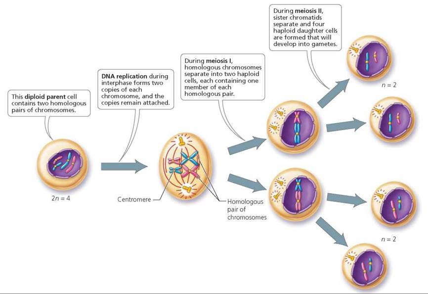 Chromosomes and Cell Division - Biology of Humans