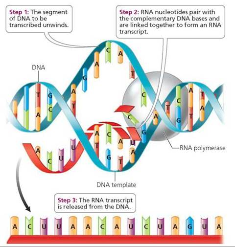 DNA and Biotechnology - Biology of Humans