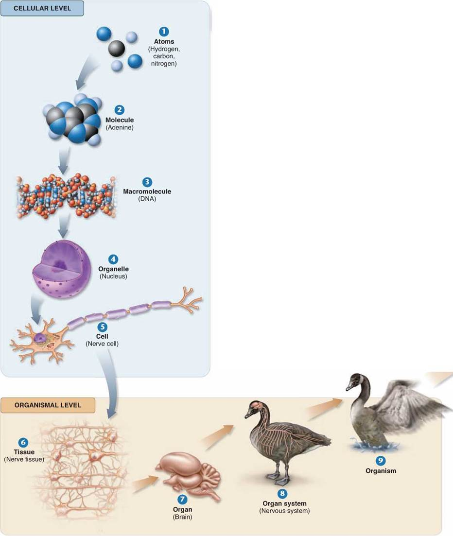 Organization of Life - The Science of Biology - The Study of Life ...
