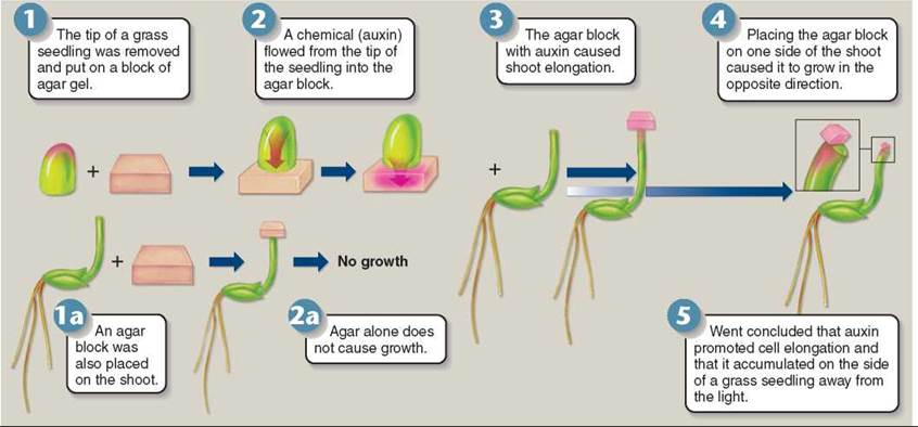 Auxin Effects