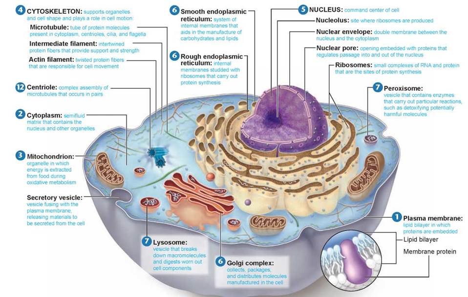 Eukaryotic Cells - Cells - The Living Cell - THE LIVING WORLD