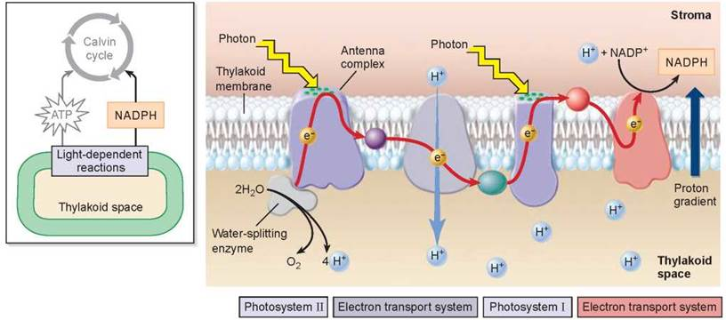 How Photosystems Convert Light To Chemical Energy Photosynthesis
