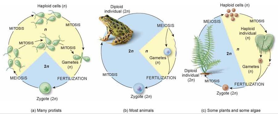 The Sexual Life Cycle - Meiosis - The Continuity of Life - THE