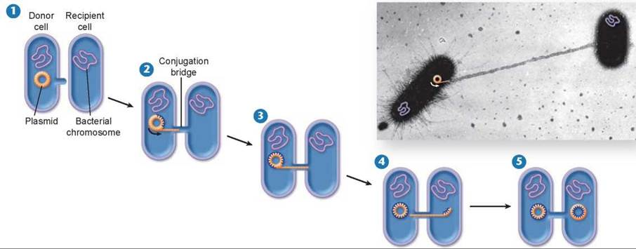 conjugation the reproduction process of single celled organism Binary fission most bacteria rely on binary fission for propagation conceptually this is a simple process a cell just needs to grow to twice its starting size and then split in two.