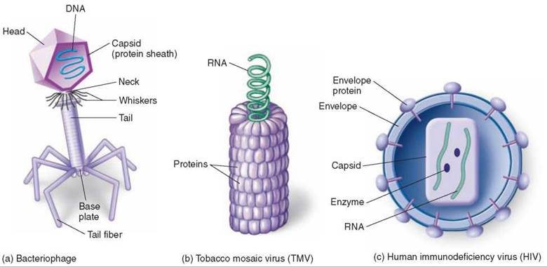 The Structure of Viruses - Prokaryotes: The First Single-Celled ...
