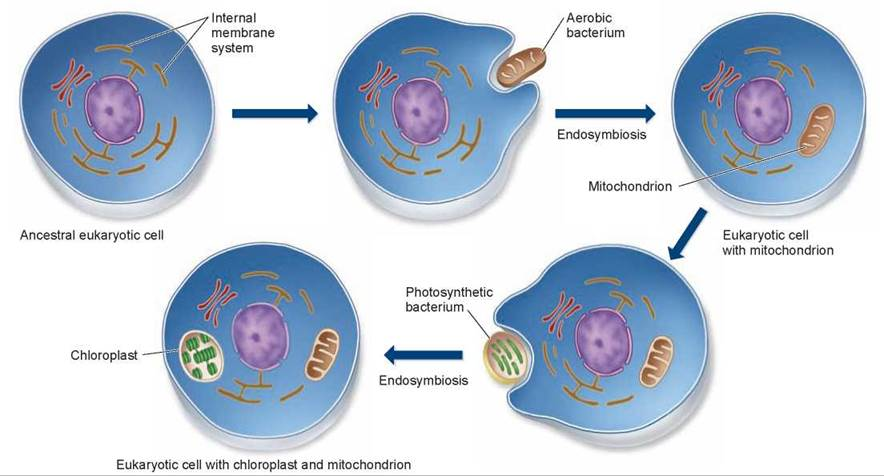 The endosymbiont hypothesis and the evolution