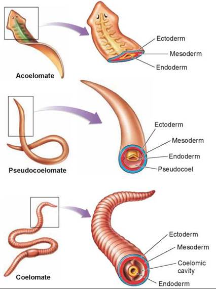 roundworms the evolution of a body cavity evolution of