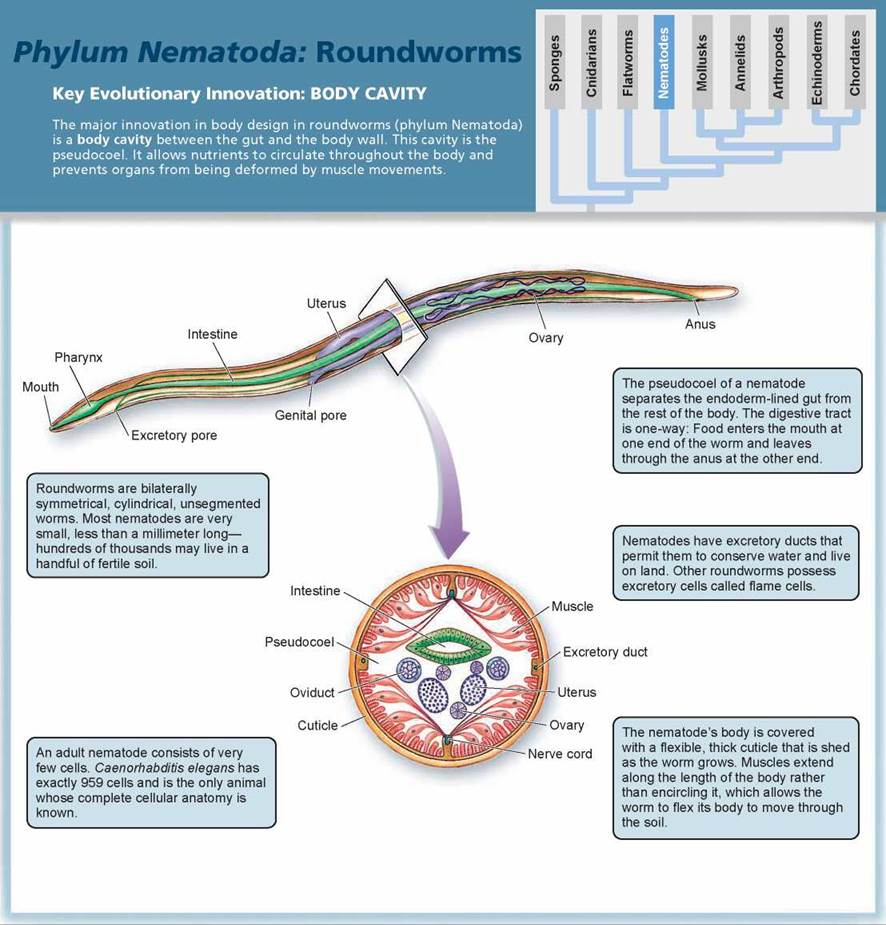 Roundworms: The Evolution Of A Body Cavity