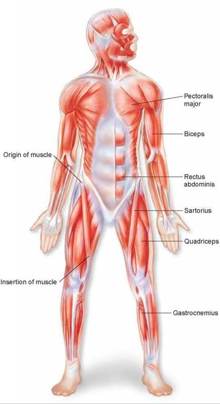 Muscular System Essay