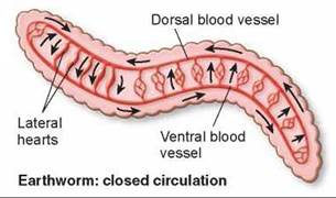 closed vascular system