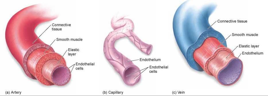 Architecture of the Vertebrate Circulatory System ...