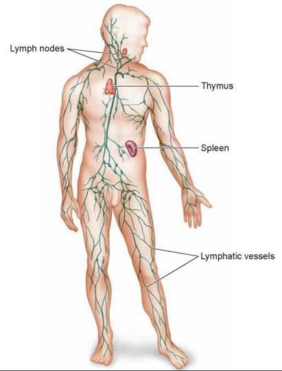 The Lymphatic System Recovering Lost Fluid Circulation Animal