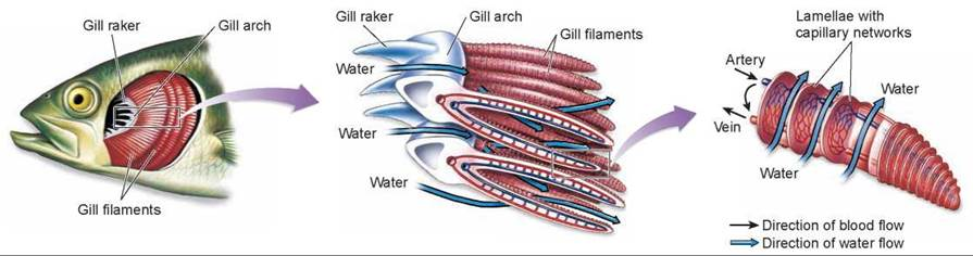 Respiration in aquatic vertebrates respiration animal for Arches related to breathing gills in fish