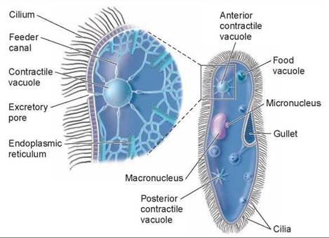 paramecium circulatory system