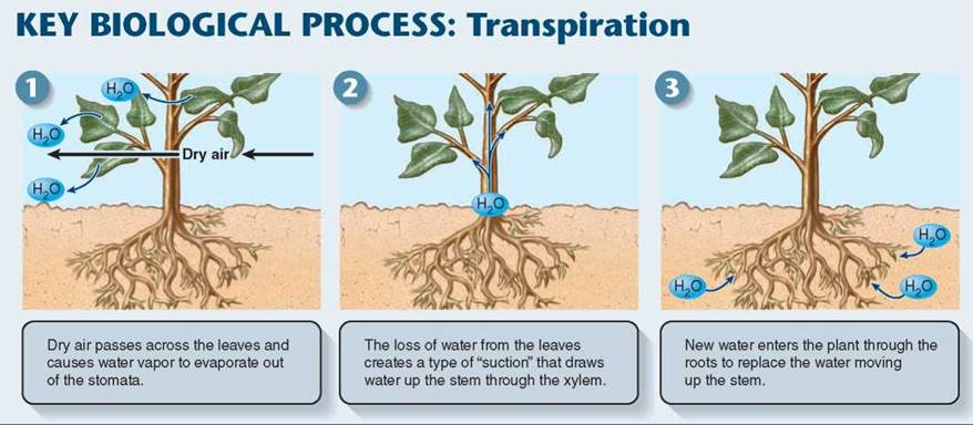 Water Movement - Plant Form and Function - Plant Life ...