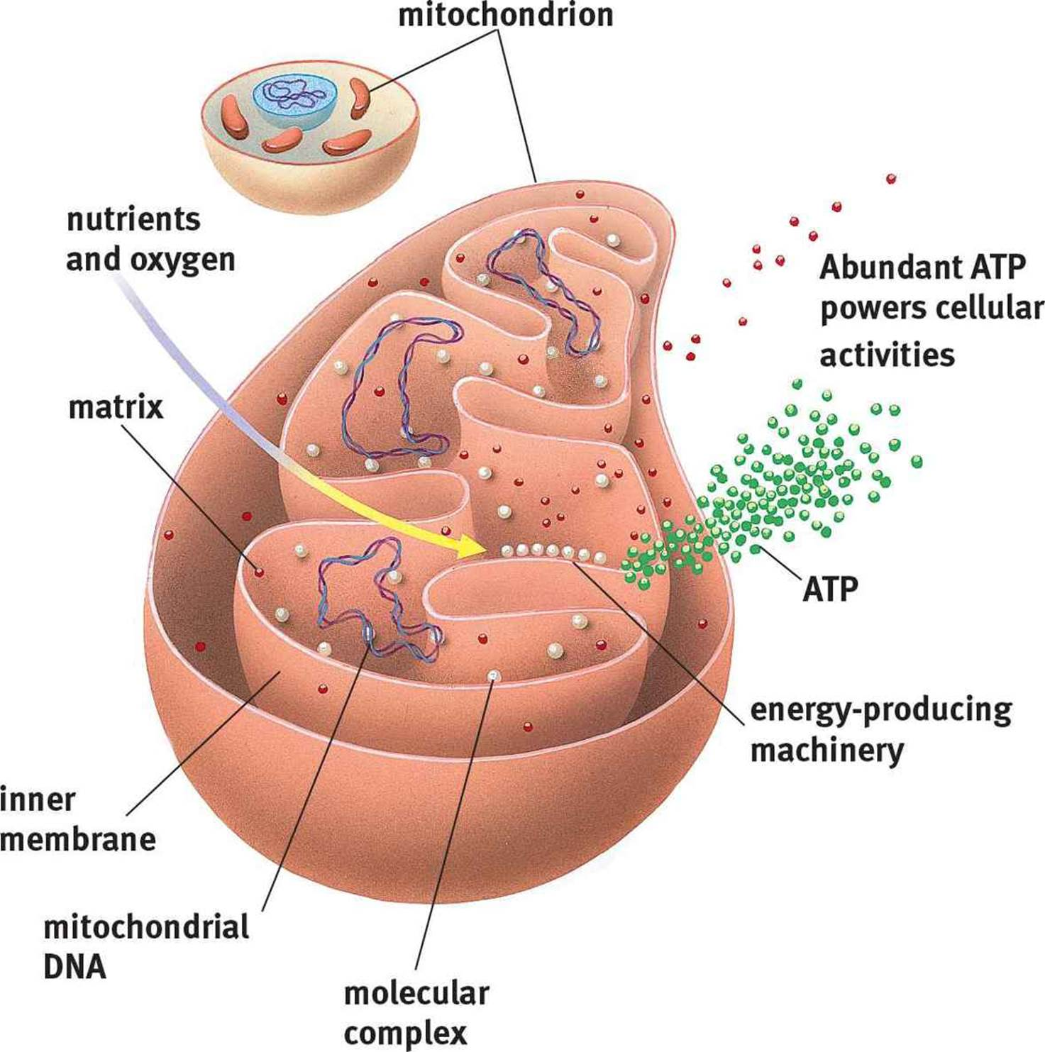 relationship between mitochondria and lysosomes location