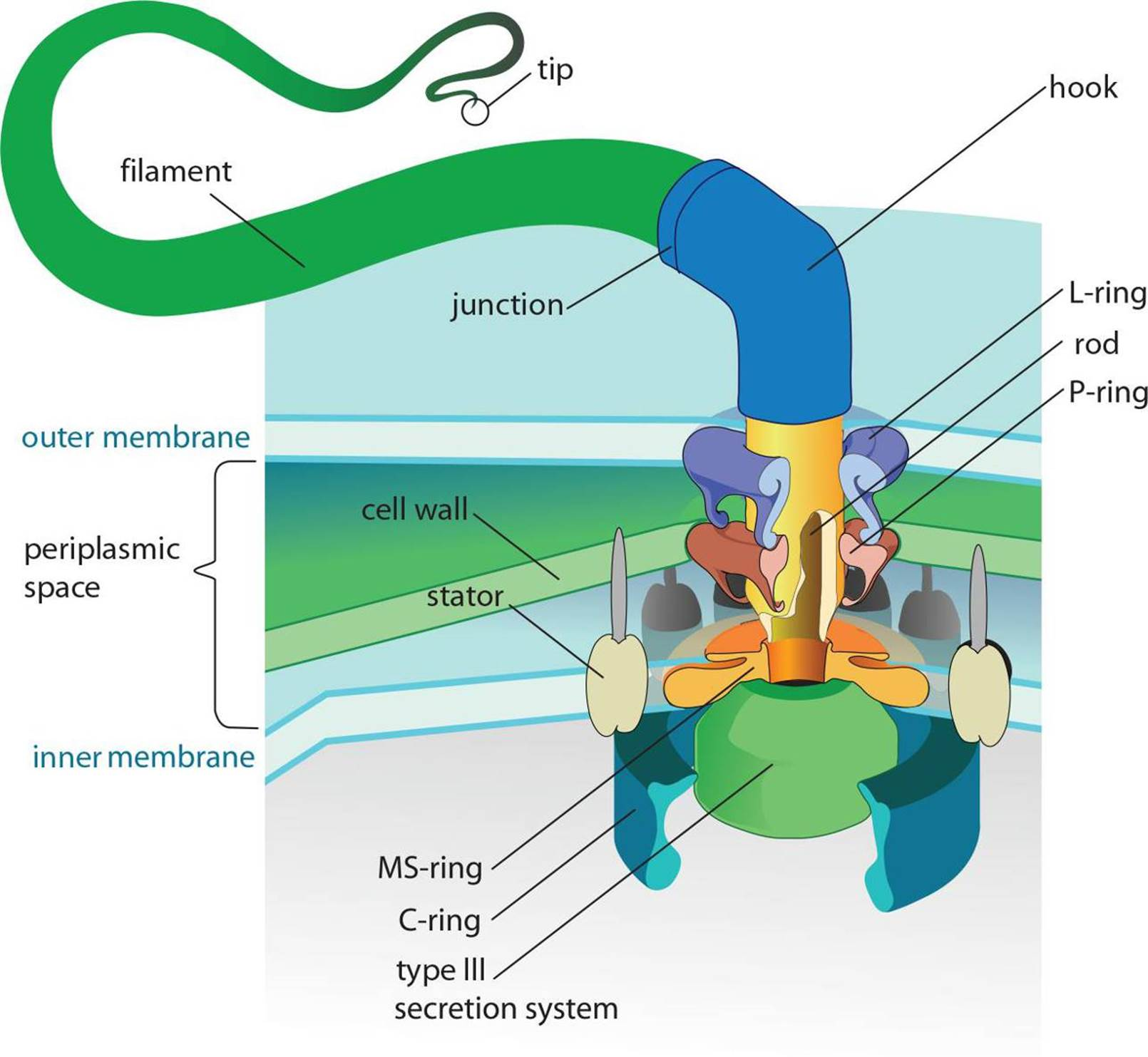 Classification and structure of prokaryotic cells the cell prokaryotic flagellum structure the filament connects via the hook to the basal body the complex structure of which is shown pooptronica Choice Image