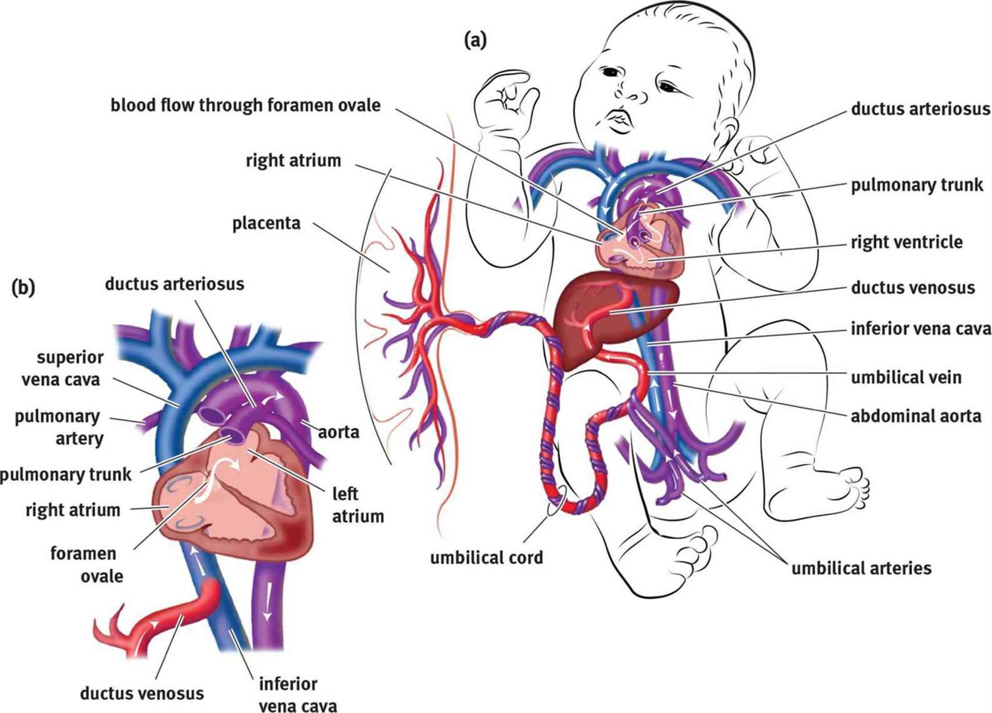 fetal circulation embryogenesis and development mcat. Black Bedroom Furniture Sets. Home Design Ideas
