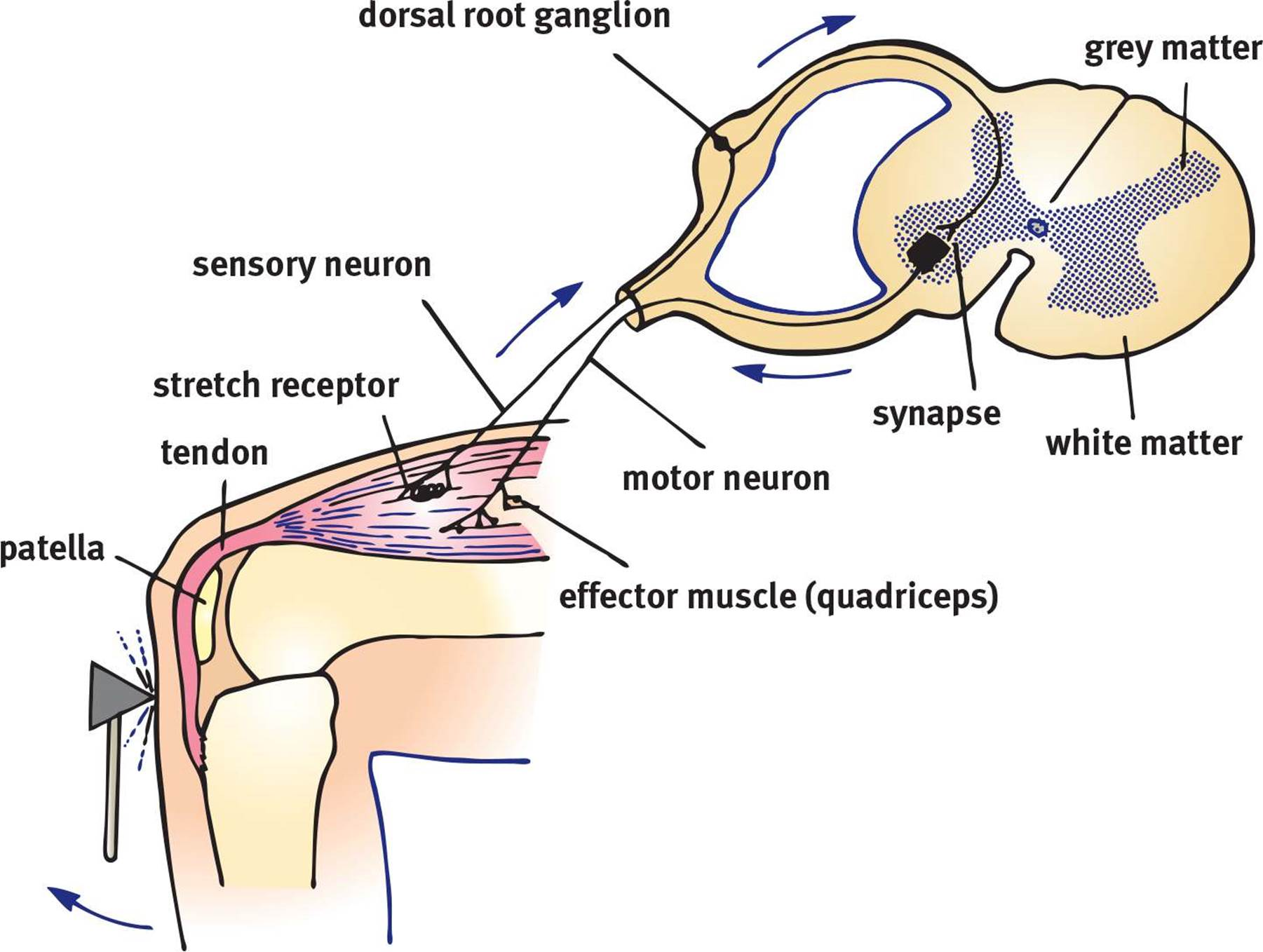 Organization of the human nervous system the nervous system the knee jerk reflex the knee jerk or knee extension reflex may be elicited by swiftly stretching the patellar tendon with a reflex hammer pooptronica
