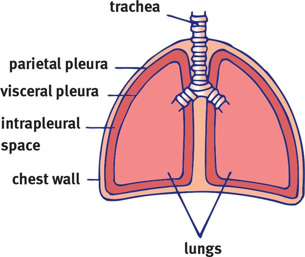anatomy and mechanism of breathing - the respiratory system