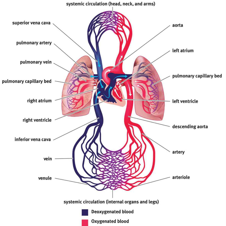 Anatomy Of The Cardiovascular System The Cardiovascular System