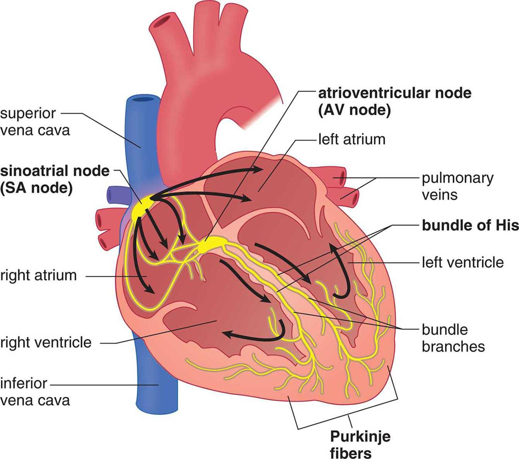 Anatomy Of The Cardiovascular System The Cardiovascular System