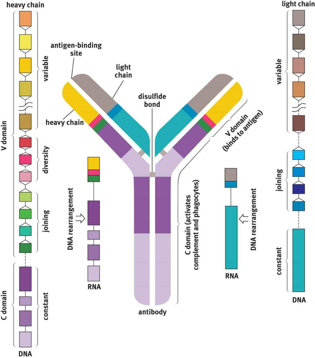 The Structure Of An Antibody Molecule Represents The