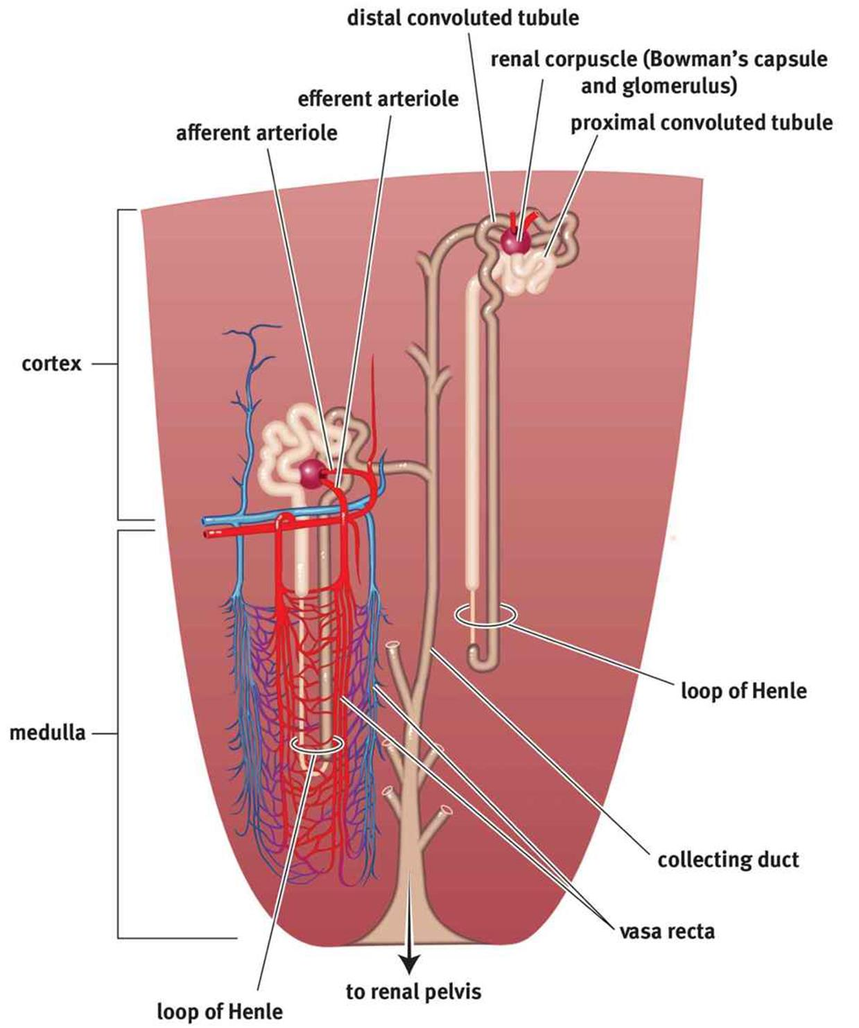 The Excretory System Homeostasis Mcat Biology Review