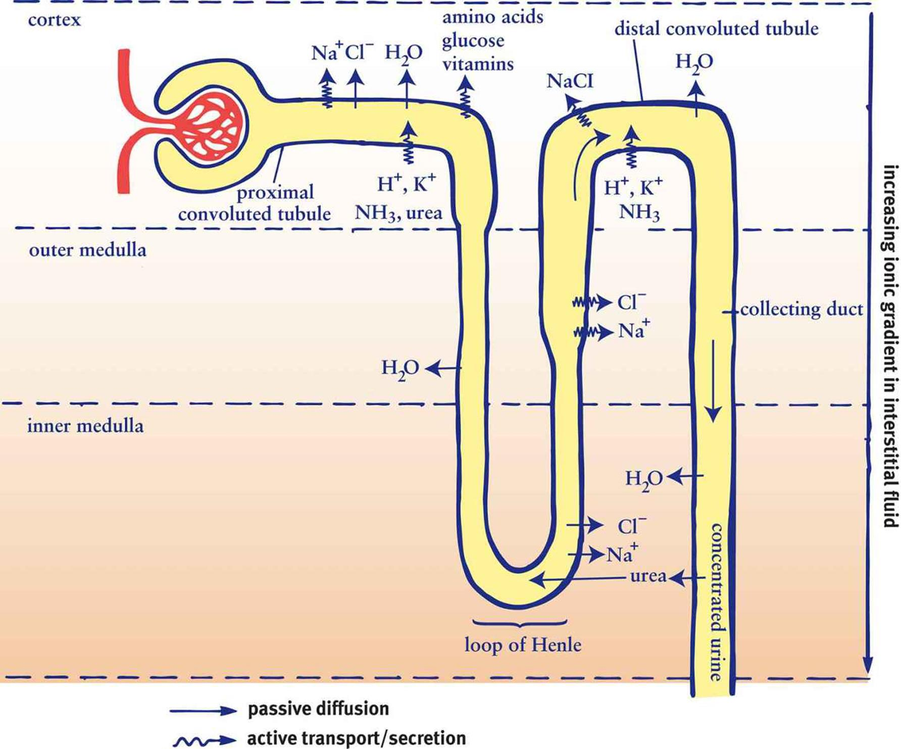 The excretory system homeostasis mcat biology review ccuart Images