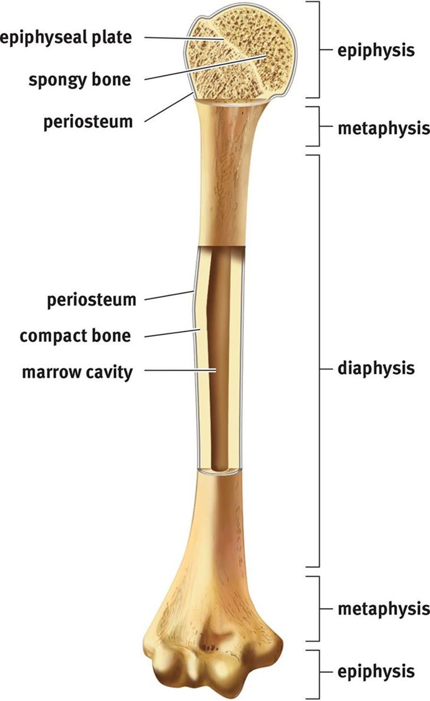 the skeletal system the musculoskeletal system mcat. Black Bedroom Furniture Sets. Home Design Ideas