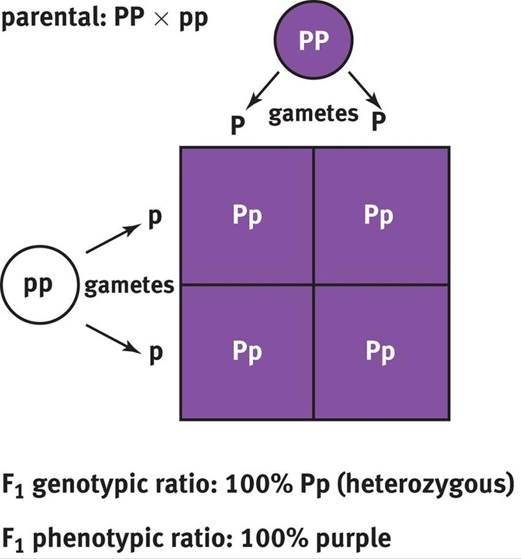 Punnett Square Diagram Analytical Approaches In Genetics And Evolution Mcat 1063x1140