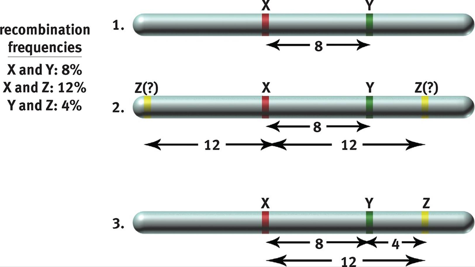 image148 Genetics Map Units on pedigree chart, map unit biology, dihybrid cross, monohybrid cross, test cross, punnett square, wild type, map units gene mapping, map genetic diseases, genetic screen, reciprocal cross,
