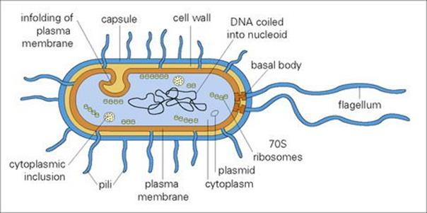 The Bacteria The Adversaries Microbes Medical