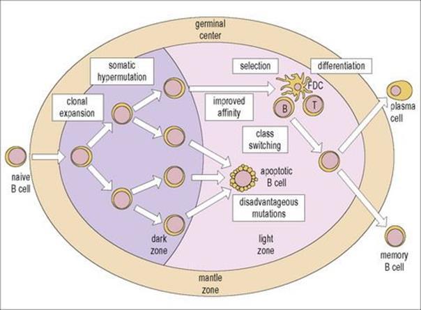 B Cell Activation Germinal Center The cellular ba...