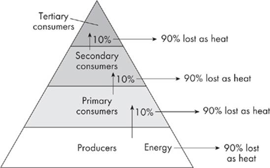 Energy Pyramid Percentages Cracking Ecology - Sub...