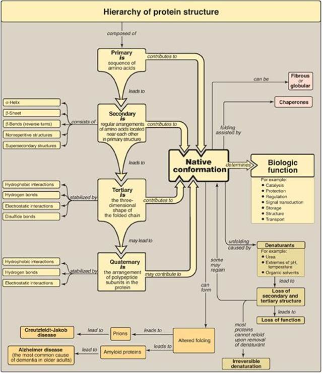 Proteins Concept Map.Structure Of Proteins Protein Structure And Function