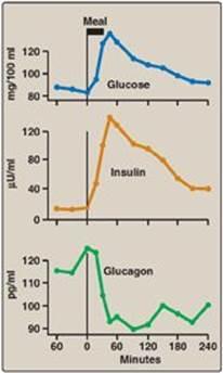 How Insulin and Glucagon Work