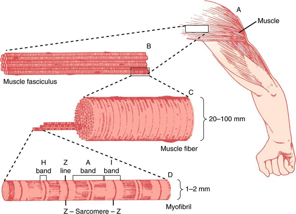 Muscle the cytoskeleton special topics harpers illustrated figure 491 the structure of voluntary muscle the sarcomere is the region between the z lines drawing by sylvia colard keene reproduced with permission pooptronica