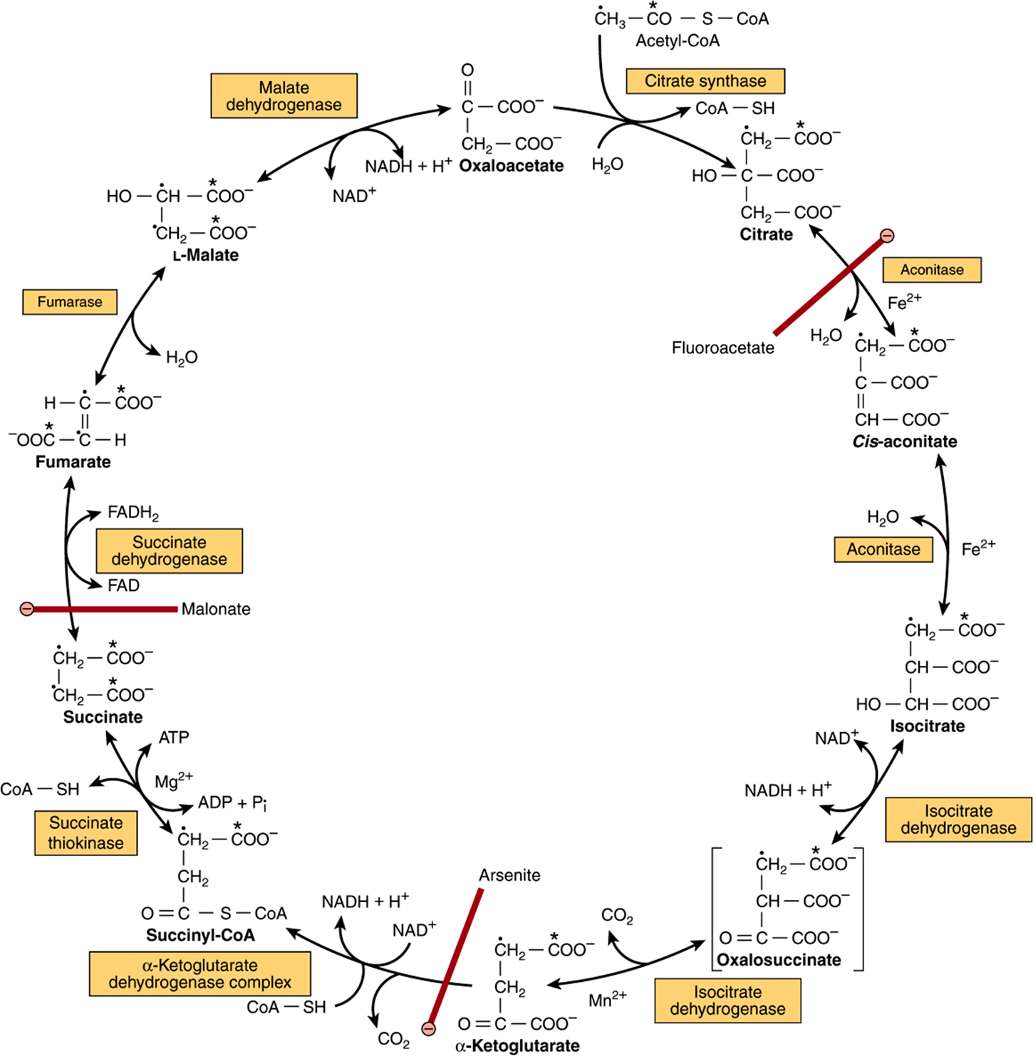 The citric acid cycle the catabolism of acetyl coa figure 173 the citric acid krebs cycle oxidation of nadh and fadh2 in the respiratory chain leads to the formation of atp via oxidative phosphorylation pooptronica Image collections