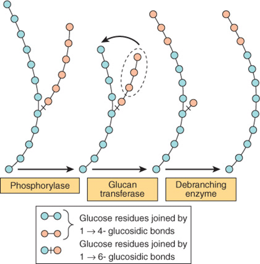 Glycogenolysis debranching enzyme