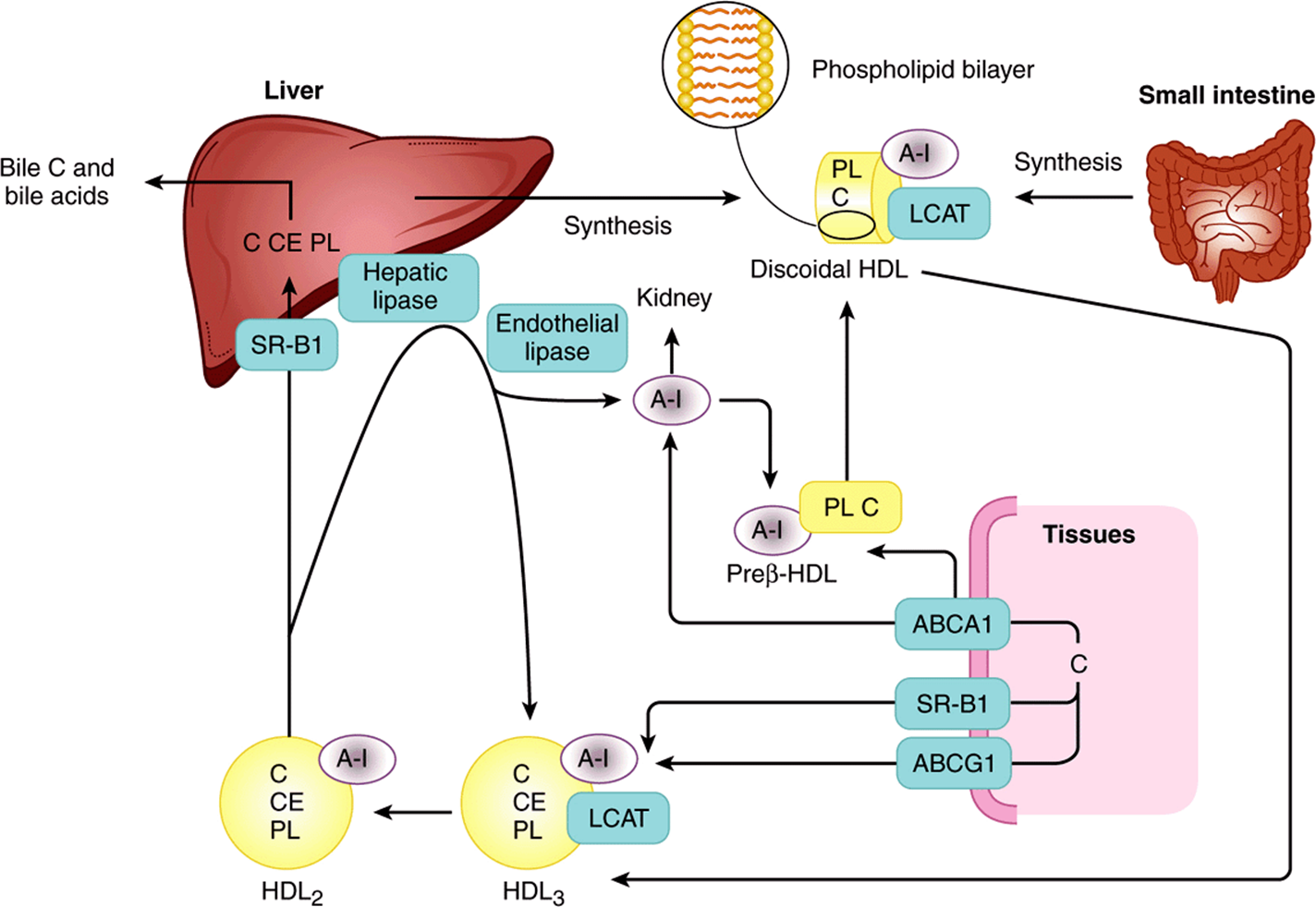 concentrations of bile salts on lipase The influence of lipase, bile salts, and polysaccharides (pectin and maltodextrin) on the properties and digestibility of lecithin/chitosan-stabilized tuna oil-in.
