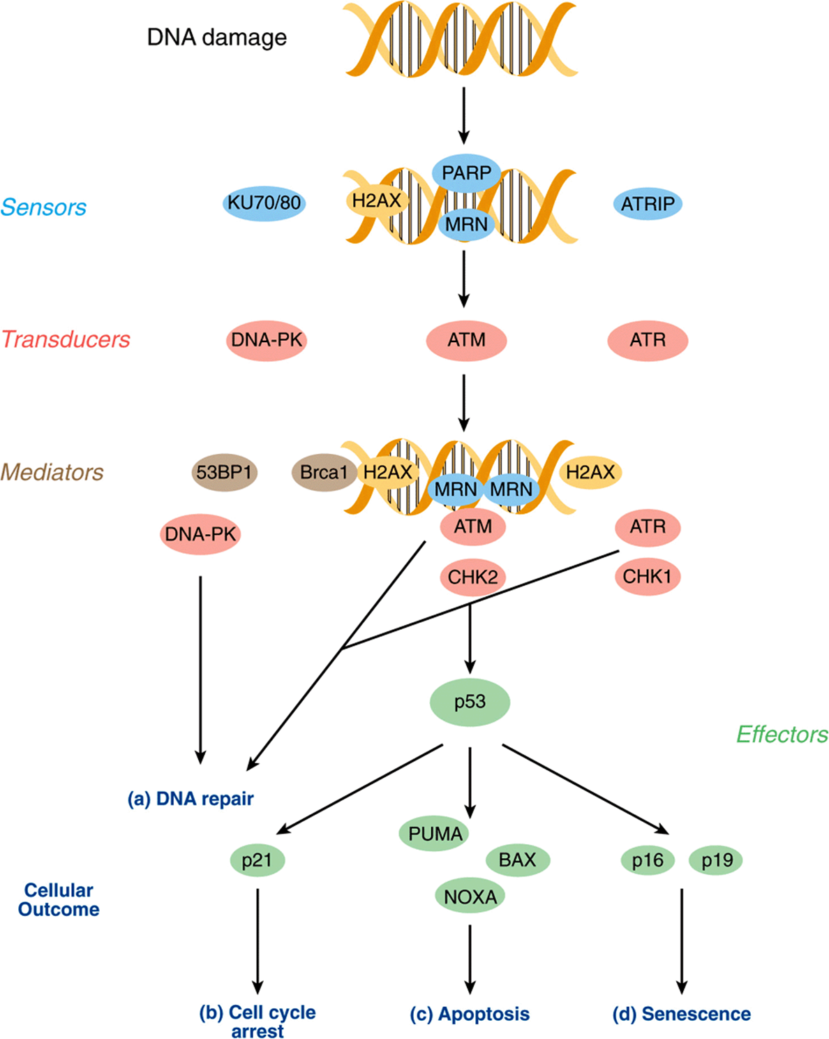 a study of the replication and repair mechanisms of our dna Our dna blueprint is under continuous including dna repair dr wang's research focuses on understanding the mechanisms of cellular responses to dna.
