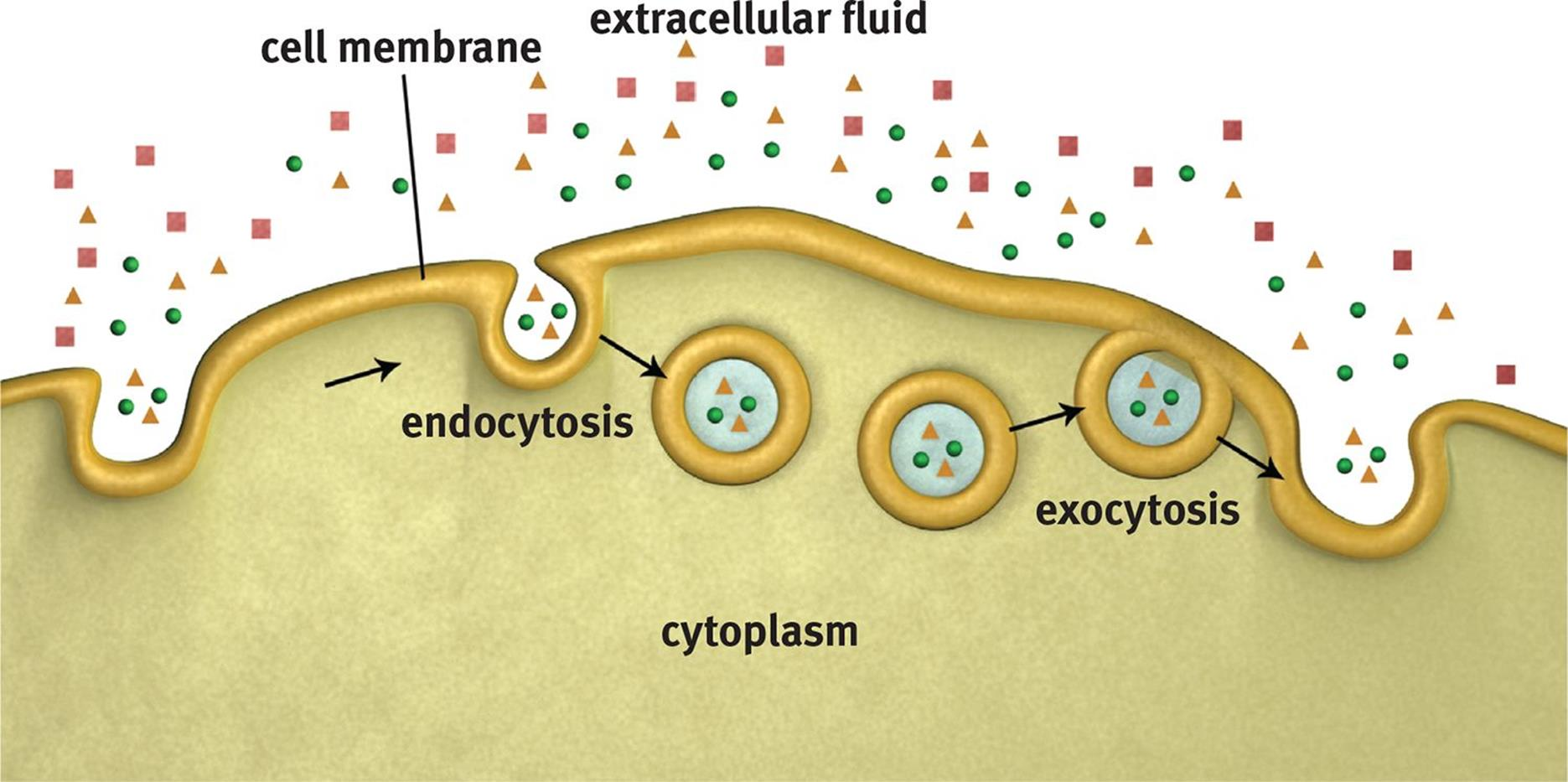 what is the relationship between endocytosis and exocytosis