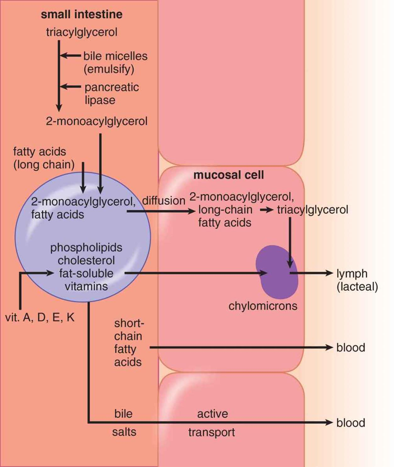 Lipid Digestion And Absorption