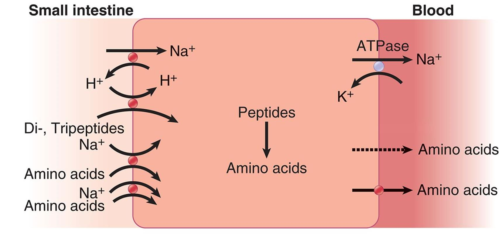 Proteases Are A Group Of Enzymes ?
