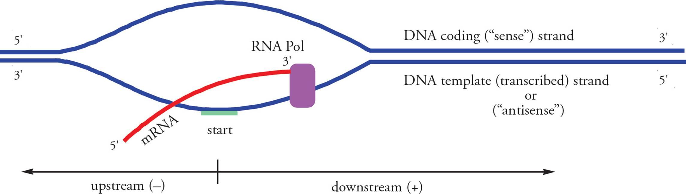 Molecular Biology Mcat Biology And Biochemistry