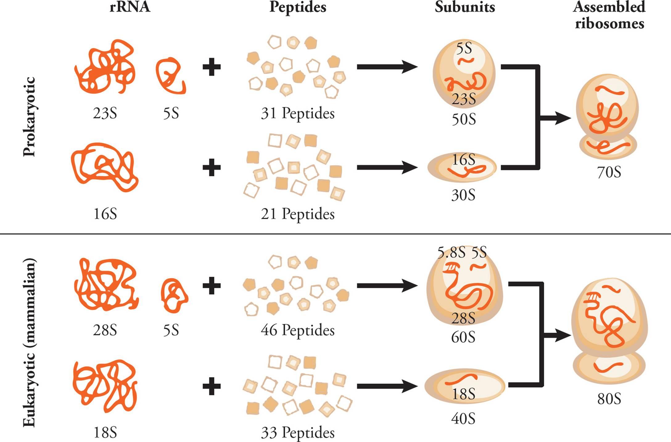 Radiosynthesis of antitumor spliceosome modulators at walmart